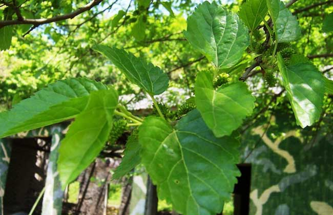 桑树的种植技术视频