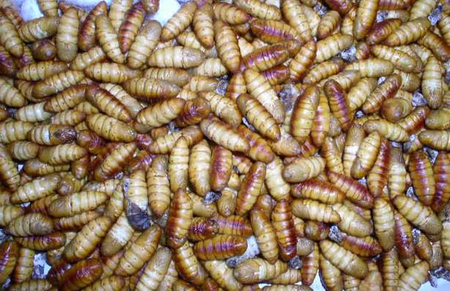 蚕蛹的功效与作用
