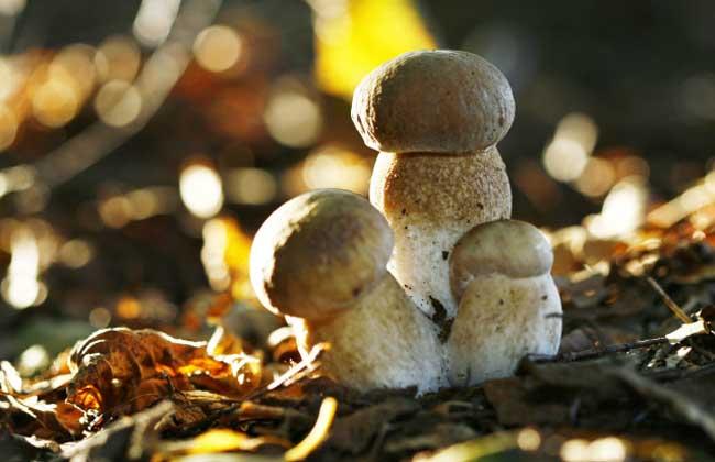 草菇的种植条件