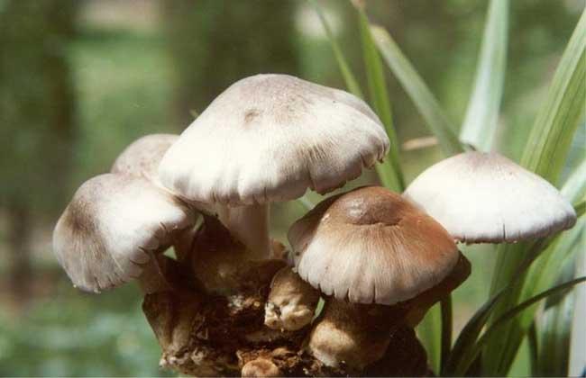 草菇种植新技术