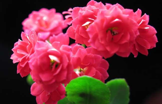 长寿花的生长习性