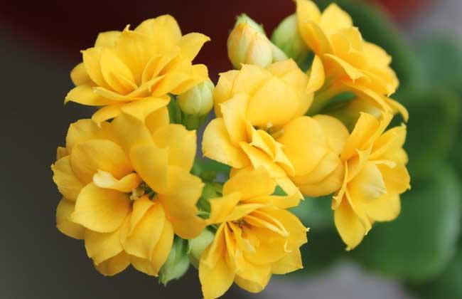 长寿花叶子发黄怎么办