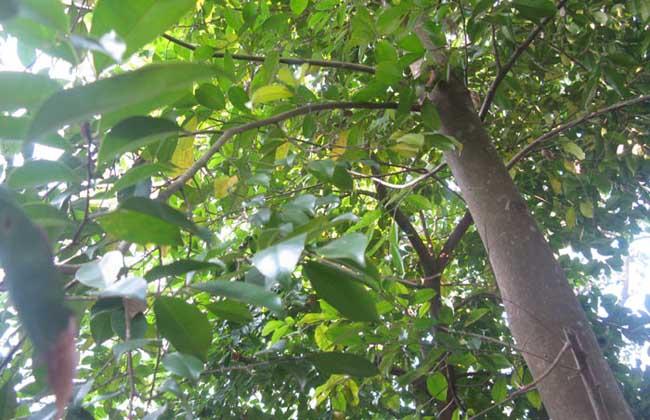 沉香树图片