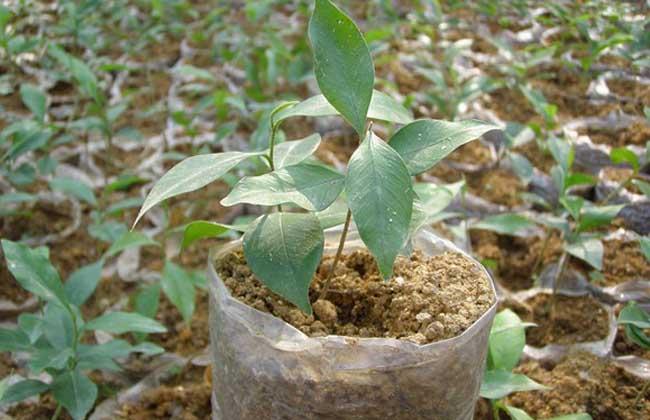沉香树的种植条件