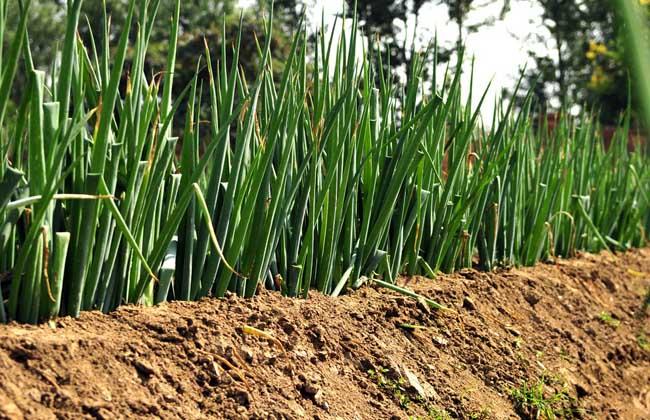 大葱的种植技术