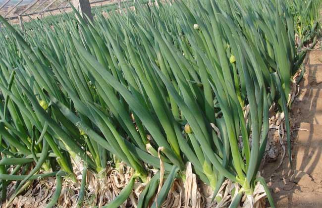 大葱种植条件和种植时间