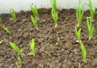 大蒜种植技术视频