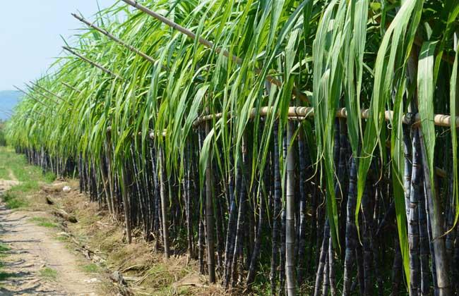 甘蔗的产地分布