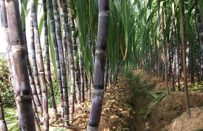 甘蔗有什么特产_甘蔗产地_甘蔗是那里的特产