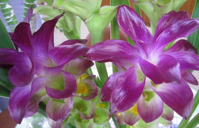 姜科观音莲会开花吗