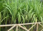 甘蔗的种植时间
