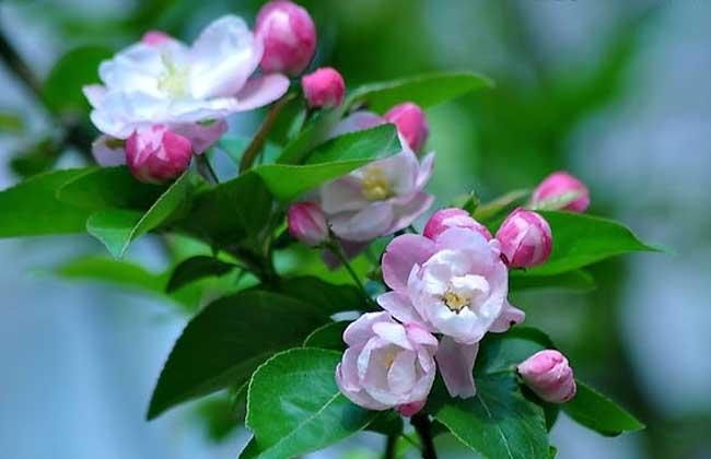 描写海棠花的诗句
