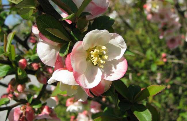 木瓜海棠图片