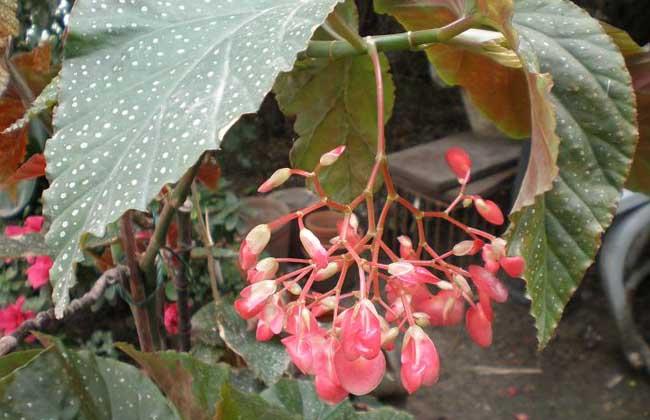 竹节海棠图片