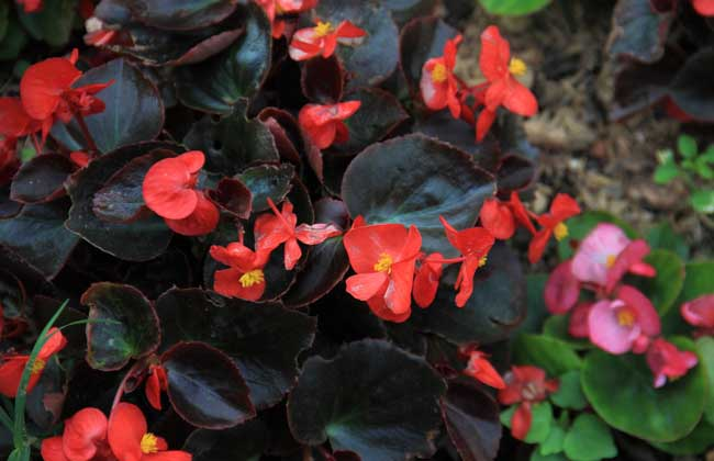 四季海棠的繁殖方法