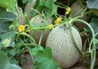 哈密瓜种植技术视频