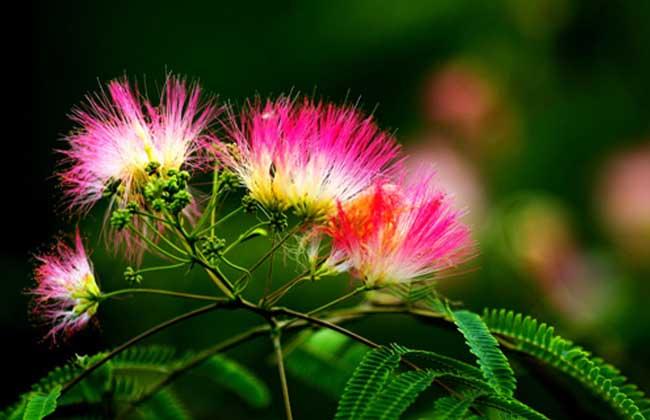 合欢花的种植条件