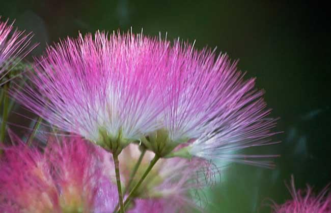合欢花的种植技术