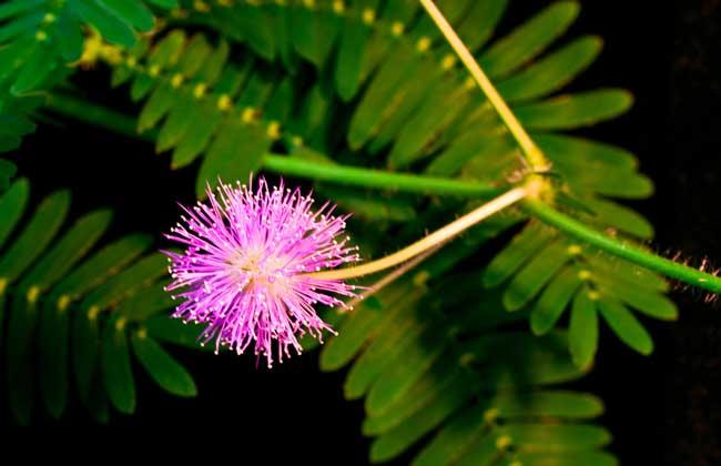 合欢花和含羞草的区别