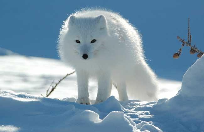 狐狸的品种分类