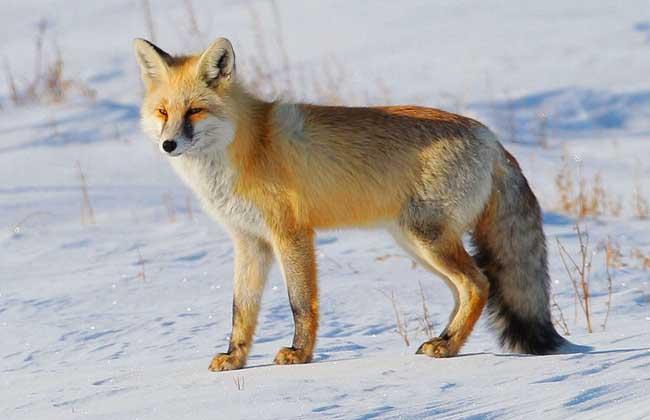 狐狸的养殖技术