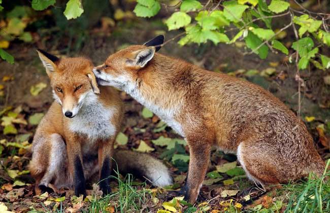 狐狸饲料配制方法