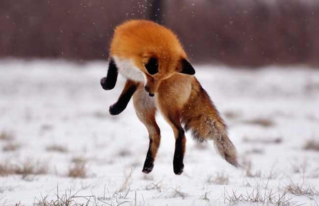 狐狸的生活习性