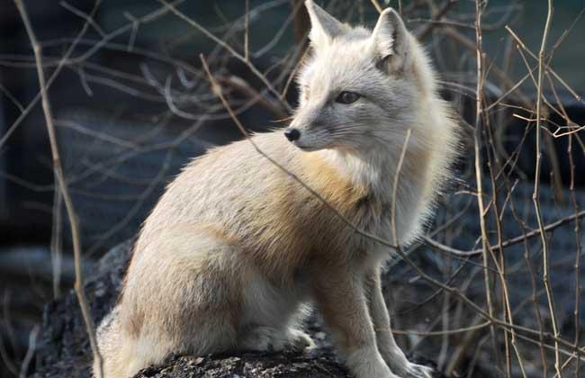 狐狸的养殖前景