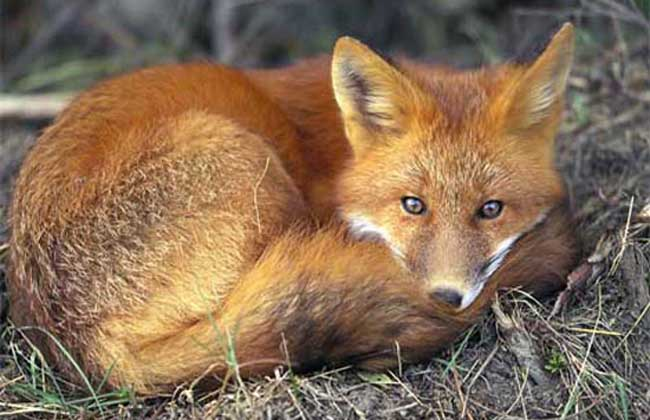 狐狸疾病防治技术