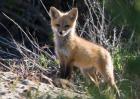 狐狸吃什么食物