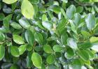 黄杨木图片