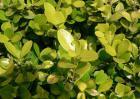 小叶黄杨和大叶黄杨的区别