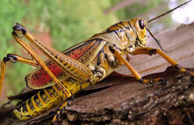 蝗虫种类图片大全