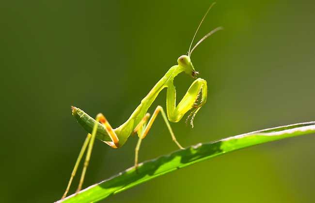 蝗虫的天敌是什么?
