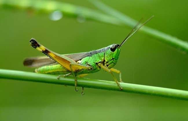 蝗虫的寿命和危害