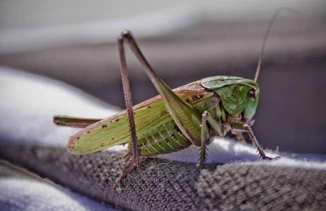 蝗虫养殖技术视频