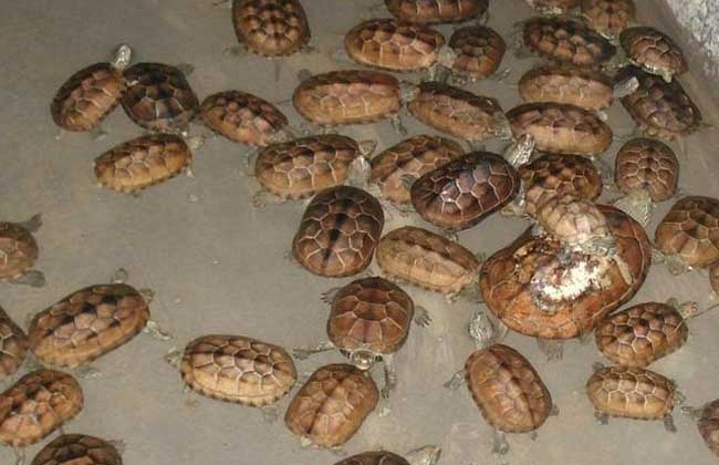 金钱龟的繁殖技术