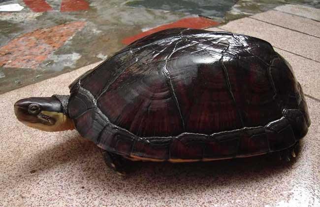 石金钱龟温室设计方法