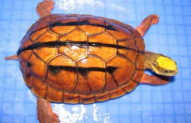 海南种金钱龟