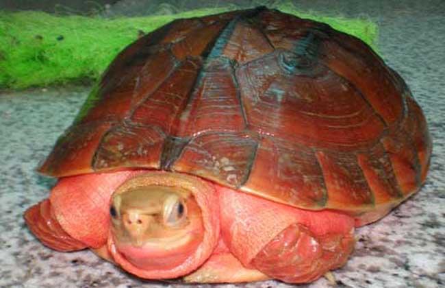 越南种金钱龟