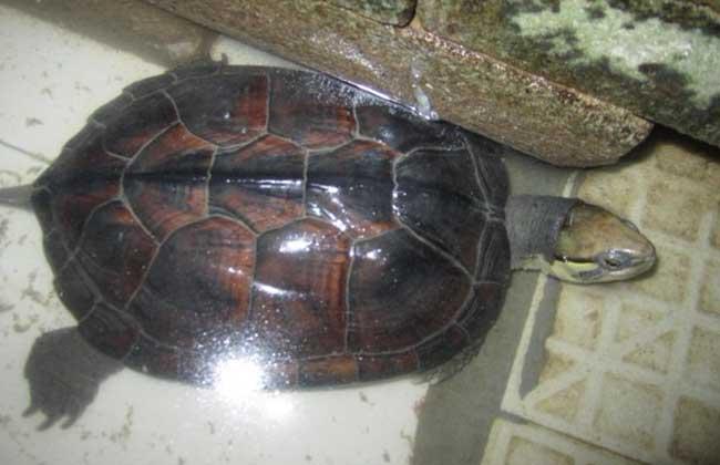 金钱龟和石金钱龟的区别