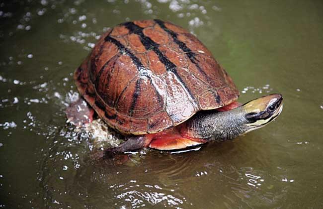 金钱龟孵化技术