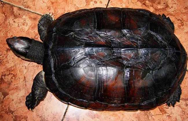 越南石金钱龟的鉴别方法