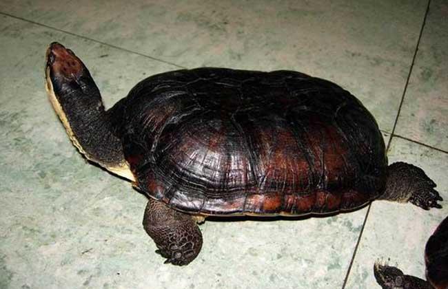 越南石金钱龟