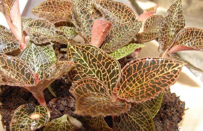 金线莲种植环境条件
