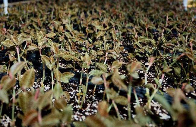 金线莲繁殖技术