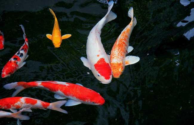 日本锦鲤图片