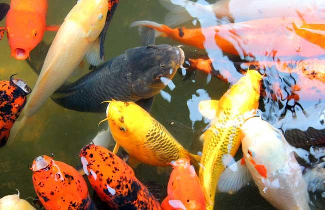 锦鲤养殖技术