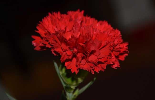 康乃馨和玫瑰的区别