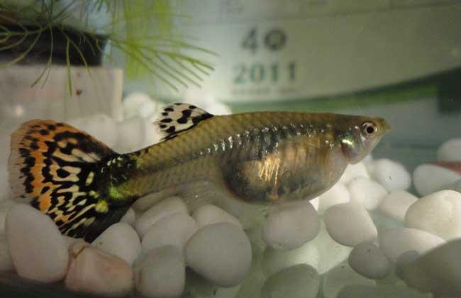孔雀鱼品种图片